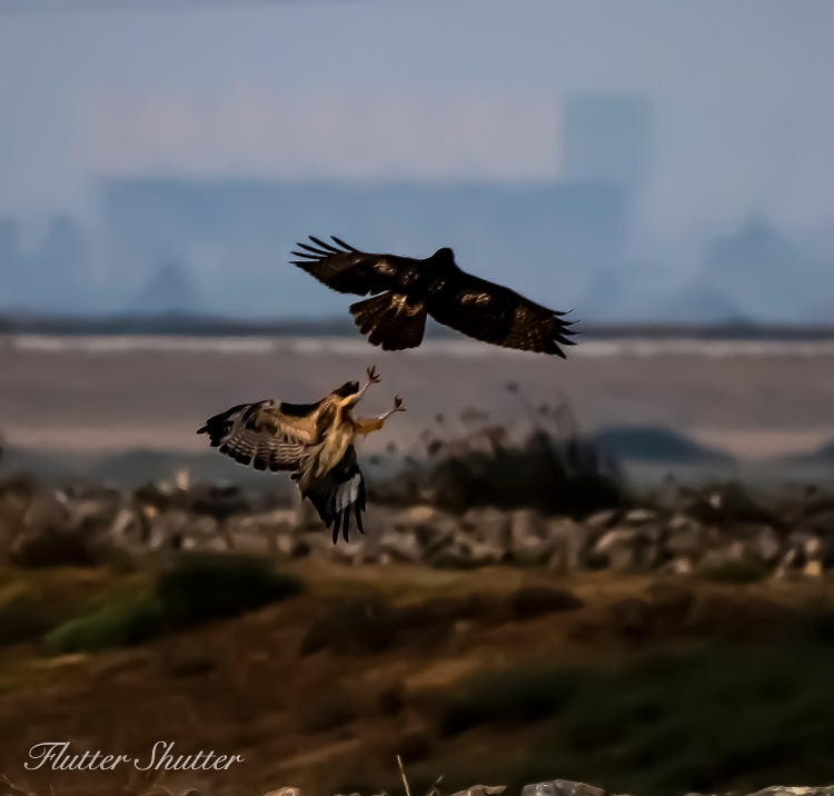 This image has an empty alt attribute; its file name is fighting-red-tailed-hawks.jpg