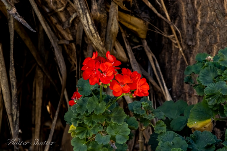 This image has an empty alt attribute; its file name is geranium.jpg